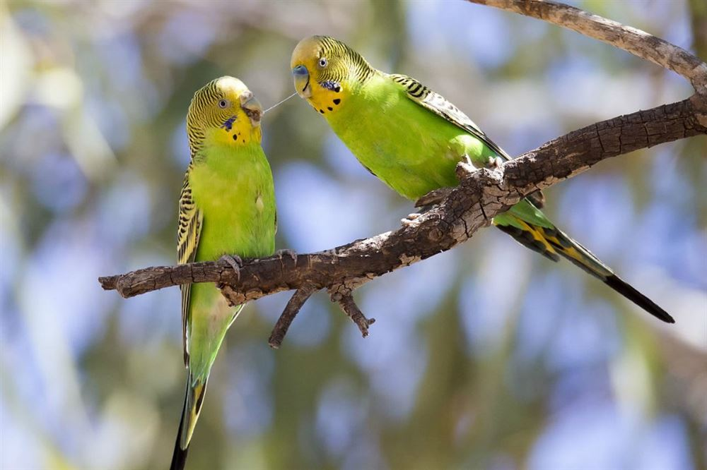 https://commons.wikimedia.org/wiki/File:Budgerigar_1_(20123571788).jpg